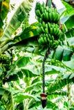 Horticulture de bananes et de banane sur le bananier, Guatemala, Amérique Centrale photos libres de droits