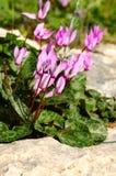 Horticulture de Cyprium de cyclamen dans une forêt Images libres de droits