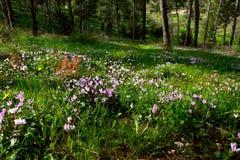 Horticulture de Cyprium de cyclamen dans une forêt Photo stock