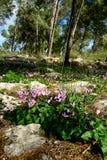 Horticulture de Cyprium de cyclamen dans une forêt Image stock