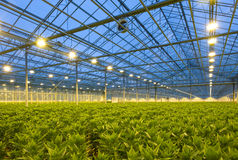 Horticulture de lis Image libre de droits