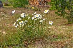 Horticulture de marguerite blanche dans l'herbe photos stock