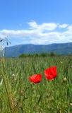 Horticulture de pavot dans un pré d'été Photo stock