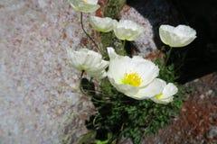 Horticulture de pavot de montagne sur la roche photo libre de droits