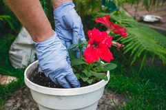 Horticulture and landscaping. Planting flower seedlings in the ground Stock Images