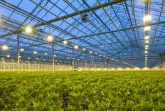horticulture lilies στοκ εικόνα με δικαίωμα ελεύθερης χρήσης