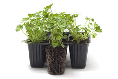 Horticulture. Parsley seedlings for transplanting royalty free stock photography