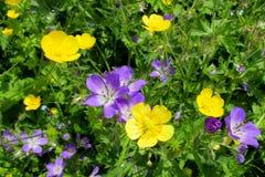 Horticulture pourpre et jaune dans le sauvage Image libre de droits