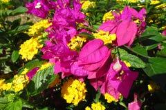 Horticulture pourpre et jaune dans le sauvage Images libres de droits