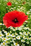 Horticulture rouge de pavot et de camomille de pavot de maïs sur le pré coloré dans la campagne Gisement de ressort dans la fleur Photos stock