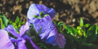 Horticulture sauvage pourpre sur le champ au Nouvelle-Zélande photographie stock libre de droits