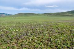 Horticulture sauvage sur la steppe, Mongolie du nord Photo stock