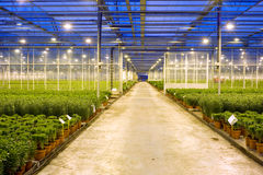 Horticulture transport lane. A wide, concrete, transport lane through the various compartments in  a huge glasshouse with potted plants Royalty Free Stock Images