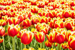 Horticulture with tulips in the Netherlands. Horticulture with many red and yellow tulips in the Netherlands stock images