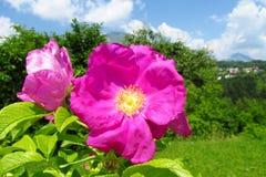 Horticulture violette dans le sauvage Images stock