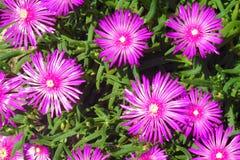 Horticulture violette dans le sauvage Photographie stock