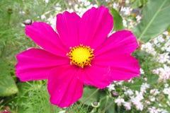Horticulture violette dans le sauvage Photographie stock libre de droits
