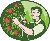 Horticulturist Farmer Pruning Fruit Stock Image