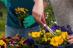 Horticulturists planting flowers Stock Photos