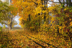 Horyzontal yellow abandoned railroadin fall. Abandoned railroad in the woods littered with yellow autumn leaves. horyzontal Stock Images