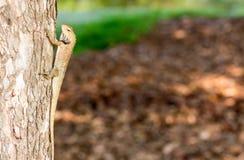 Horyzontalna Cropped Barwionego kameleonu Agamids Changeable jaszczurka C fotografia royalty free