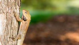 Horyzontalna Cropped Barwionego kameleonu Agamids Changeable jaszczurka C obraz royalty free