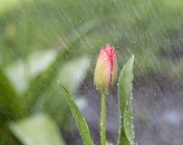 Przerzedże kwiatu w wiosna deszczu Zdjęcia Stock