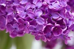 horyzontalne lile purpury Fotografia Royalty Free