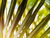 Horyzontalny żywej zieleni palmowego liścia upclose szczegółu bokeh tło Obrazy Stock