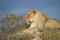 Horyzontalny, colour lwica wizerunek, Panthera Leo, odpoczywa na trawiastym termitu kopu w Wielkim Kruger Transfrontier parku Obrazy Stock
