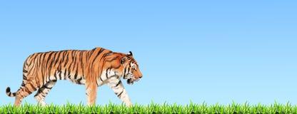 Horyzontalny sztandar z chodzącym tygrysem i zieloną trawą Obrazy Royalty Free