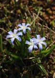 Horyzontalny w górę na delikatnego, błękitnego kwiatu dorośnięcia w parku w wczesnej wiośnie, zdjęcia royalty free
