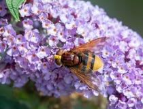 Horzel mimische hoverfly Stock Afbeeldingen
