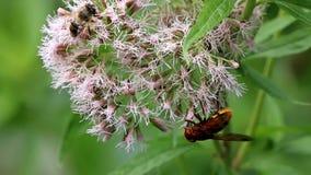 Horzel mimische hoverfly bij heilige kabel Royalty-vrije Stock Fotografie