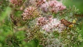 Horzel mimische hoverfly en bij die over heilige kabel lopen stock video
