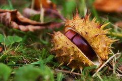 Horse chestnut in shell Stock Image