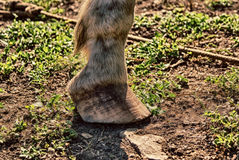 Hose hoof. Photograph of a horse hoof on a natural background royalty free stock photo