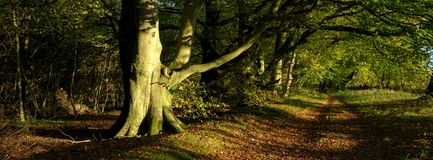 Autumn warm evening sunlight on an avenue o f beech trees in the South Downs National Park, UK royalty free stock photo