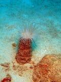 Host anemone, Vietnam, Nha Trang Stock Images