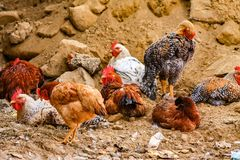 Happy free living chickens. A host of domestic chickens lived and roasted on stony ground royalty free stock images