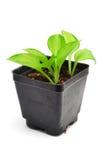 hosta изолировал белизну variegated сеянцем Стоковые Изображения RF