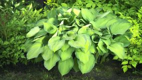 Hosta stock video