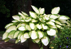 hosta Obraz Royalty Free