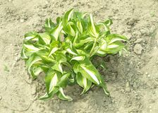 Hosta Stock Images