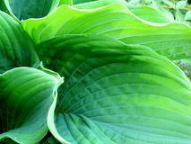 Hosta Royalty Free Stock Images