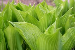 Hosta Photo stock