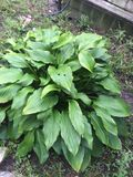 Hosta Royaltyfria Bilder