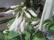 Hosta royaltyfri bild