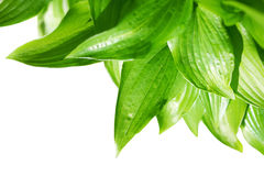 Hosta Royalty Free Stock Photography
