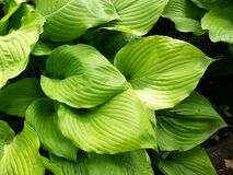 Hosta Asparagaceae family `Sum and Substance` leaves